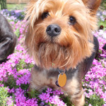 Puppy-in-Pink-Flowers